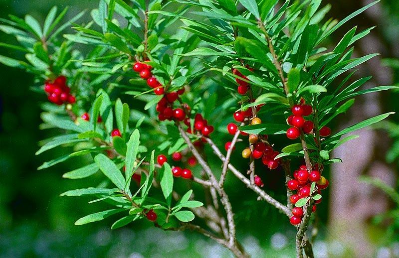 Волчьи ягоды