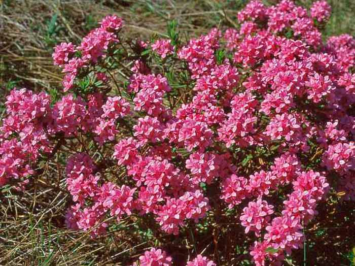 цветение волчьих ягод