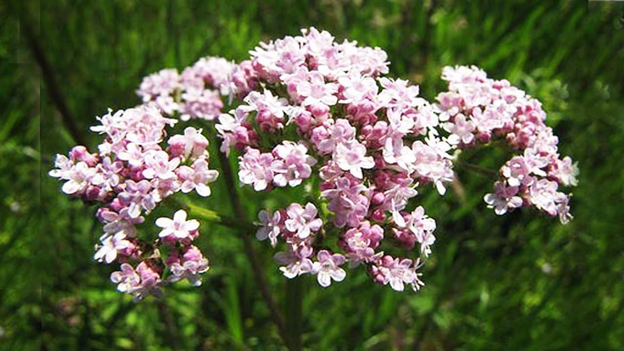 Цветки валерианы лекарственной